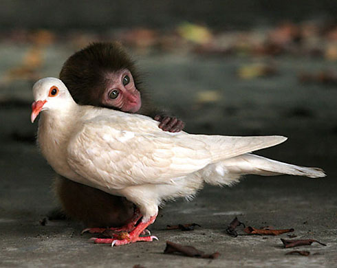 LOVE STORY: monkey and pigeon