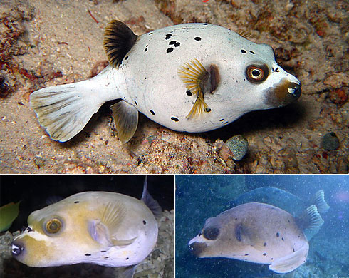 Dog faced puffer fish