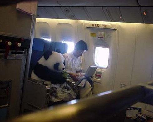 First class panda