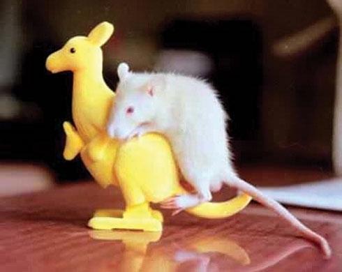 Horny mice