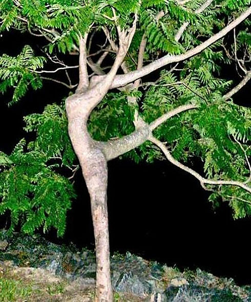 Unusual dancing tree
